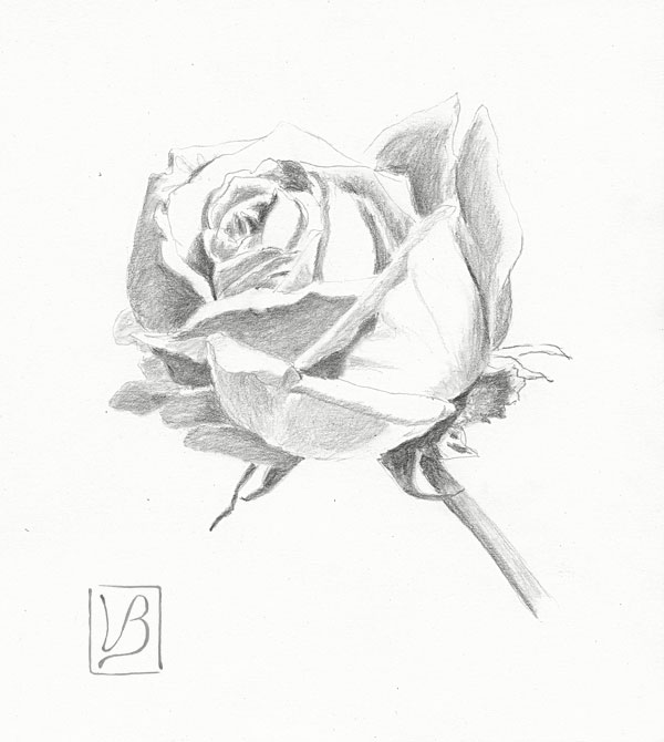 Study of a white rose.