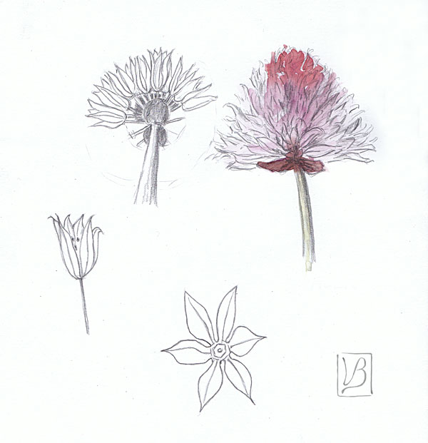 Allium schoenoprasum, chives, flower study.