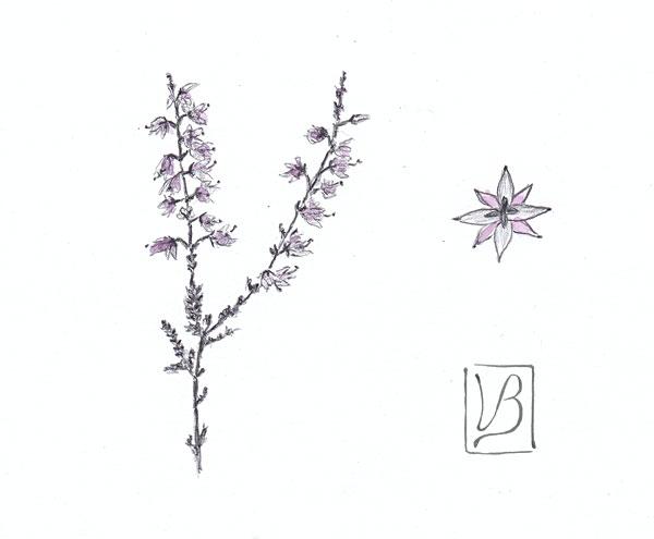 Calluna vulgaris, heather.