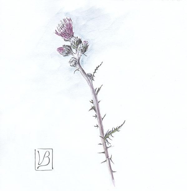 Cirsium arvense, creeping thistle, male plant.