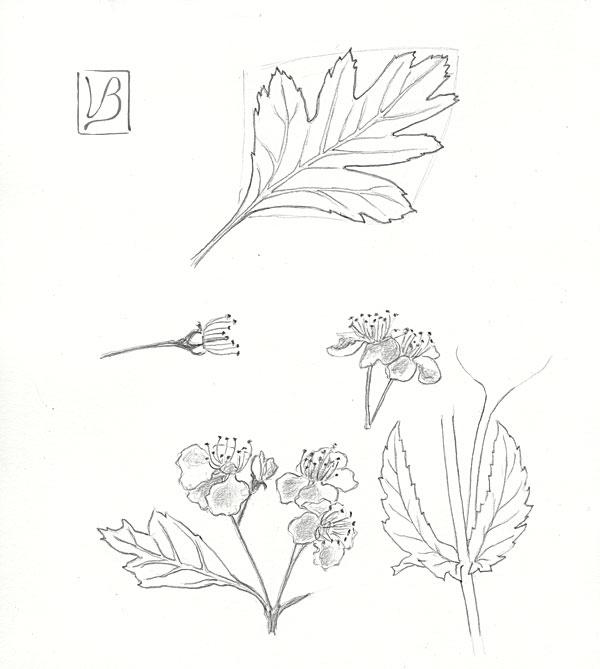 Crataegus monogyna, hawthorn.