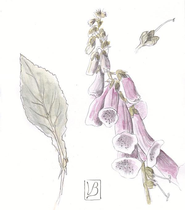 Digitalis purpurea, foxglove.