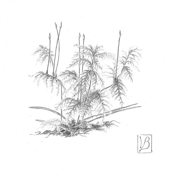 Hylocomium splendens, glittering woodmoss.