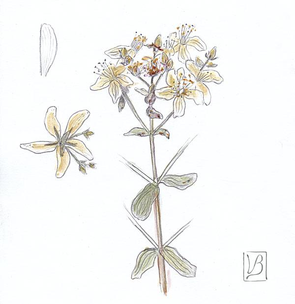 Hypericum perforatum, St John's-wort.