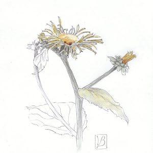 Inula helenium, elecampane.