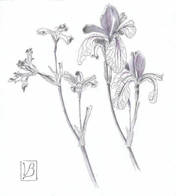 Irises, dry and fresh.