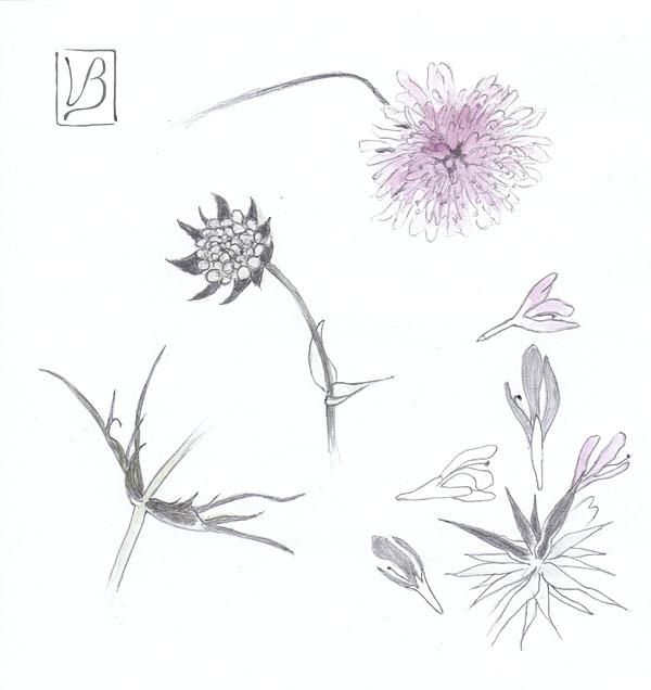 Knautia arvensis, field scabiose.