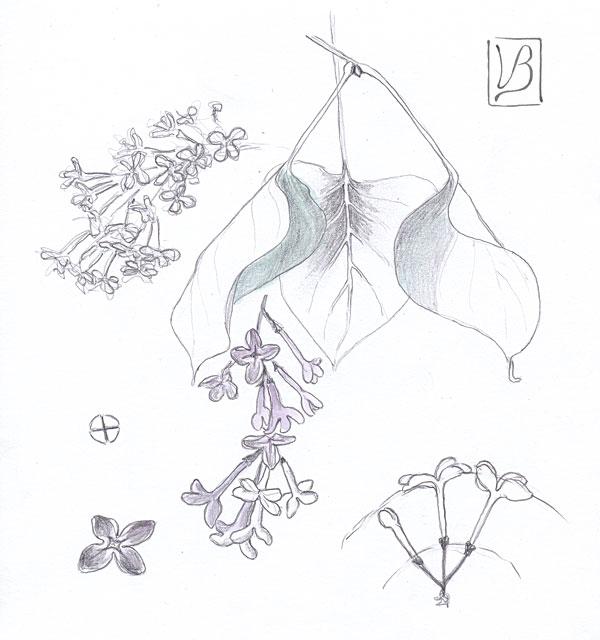 Syringa vulgaris, lilac.