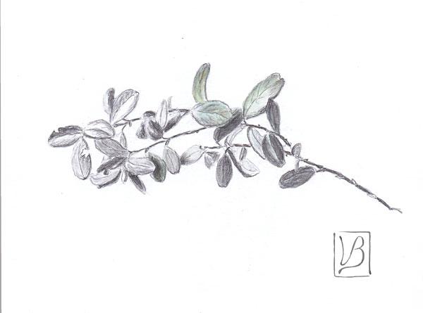 Vaccinium vitis-idæa, lingonberry twig.
