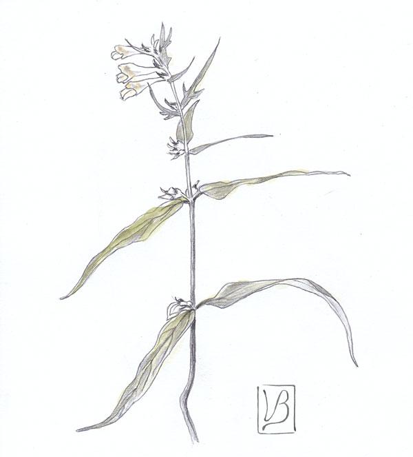 Melampyrum pratense, common cow-wheat.