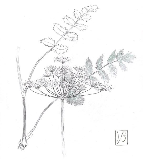 Pimpinella saxifraga, burnet saxifrage.