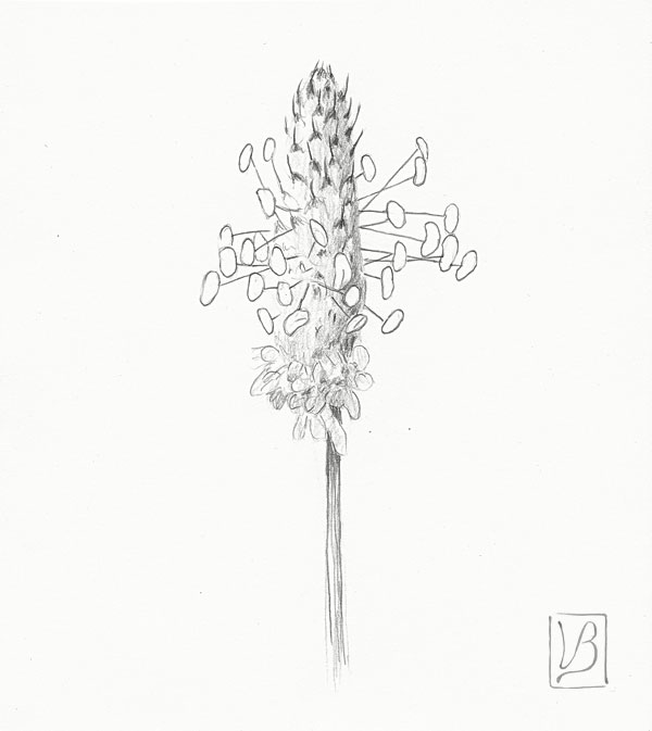 Plantago lanceolata, ribwort plantain.