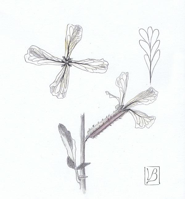 rucola flower study