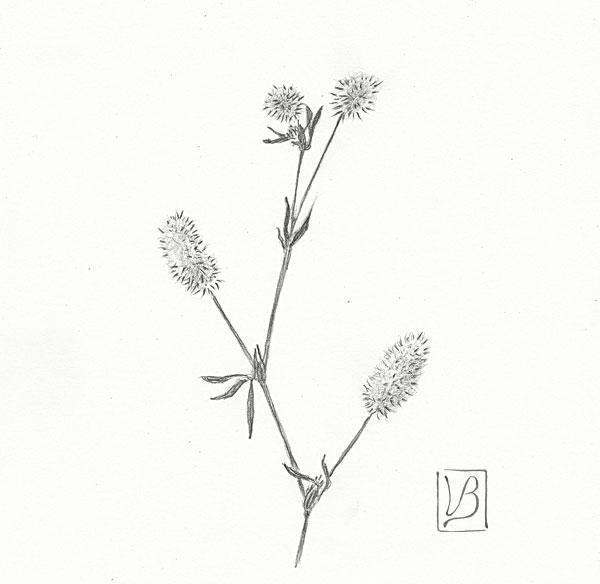 Trifolium arvense, hare's-foot clover.