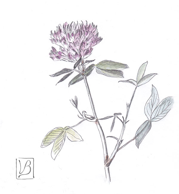 Trifolium medium, zigzag clover.