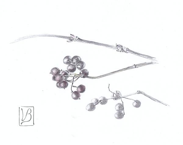 Viburnum opulus, viburnum berries.