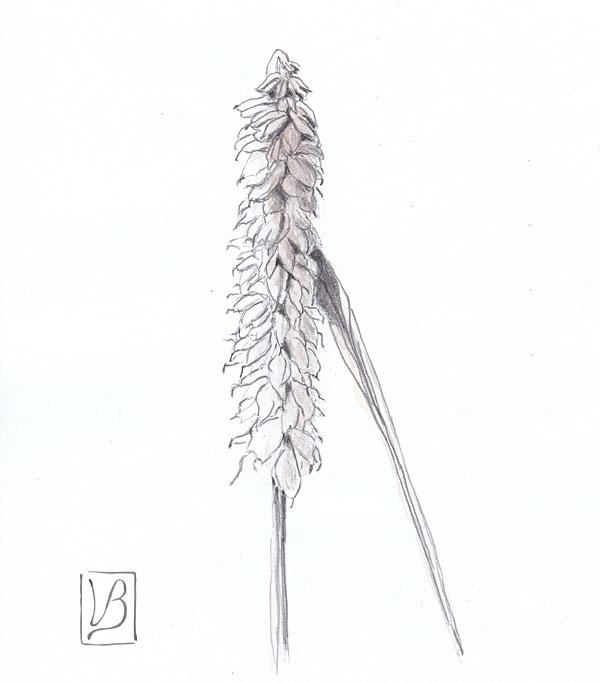 Triticum æstivum, wheat.