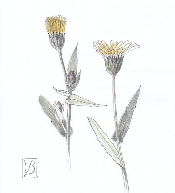 Calendula arvensis, wild calendula.