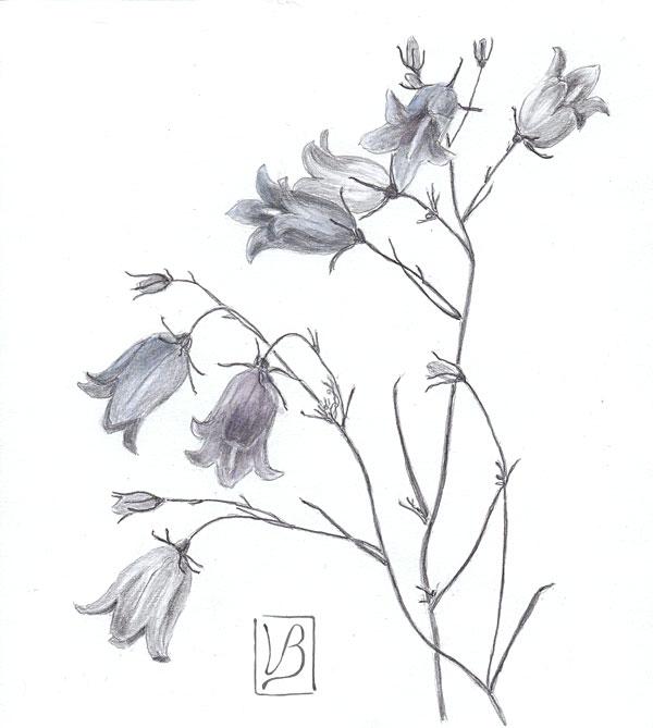 Campanula rotundifolia, harebell.