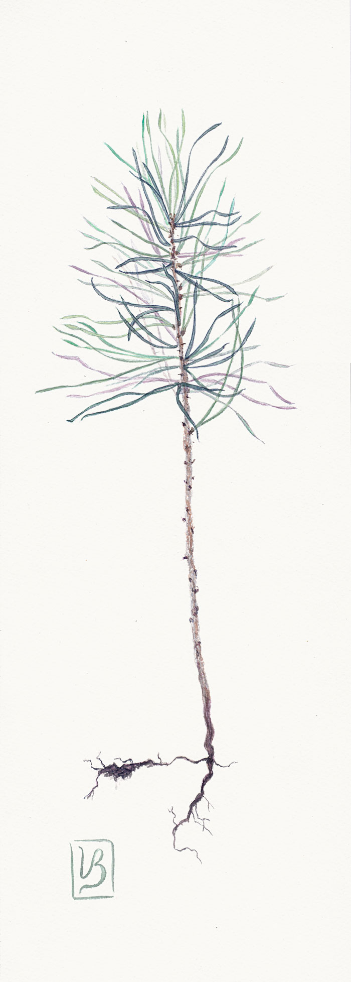 "Pinus silvestris, pine seedling. In reality 10 cm (4"") high, painting 50x17 cm (20x6,8"") on Bockingford 300gsm 2017. 220€"