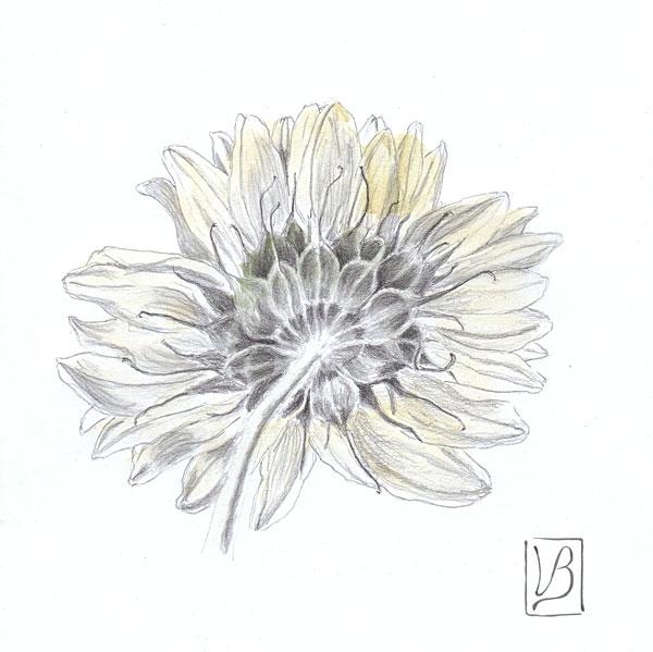 Helianthus annuus, sunflower, backside.