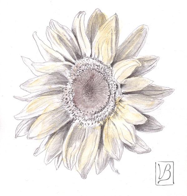 Helianthus annuus, sunflower.