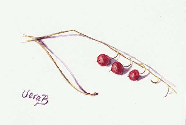 "Convallaria berries. Painted with plant pigment watercolour. 14x19 cm (5,6x7,6"") on Bockingford paper 2017."
