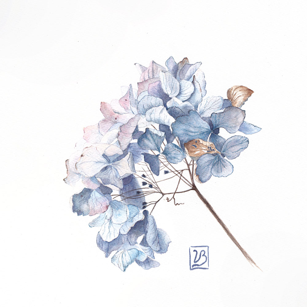 "Dry hydrangea. Watercolour on graphite drawing from real model. 30x30 cm (12x12"") on Bockingford 300gsm paper 2018. In juried Danish show. 215€"