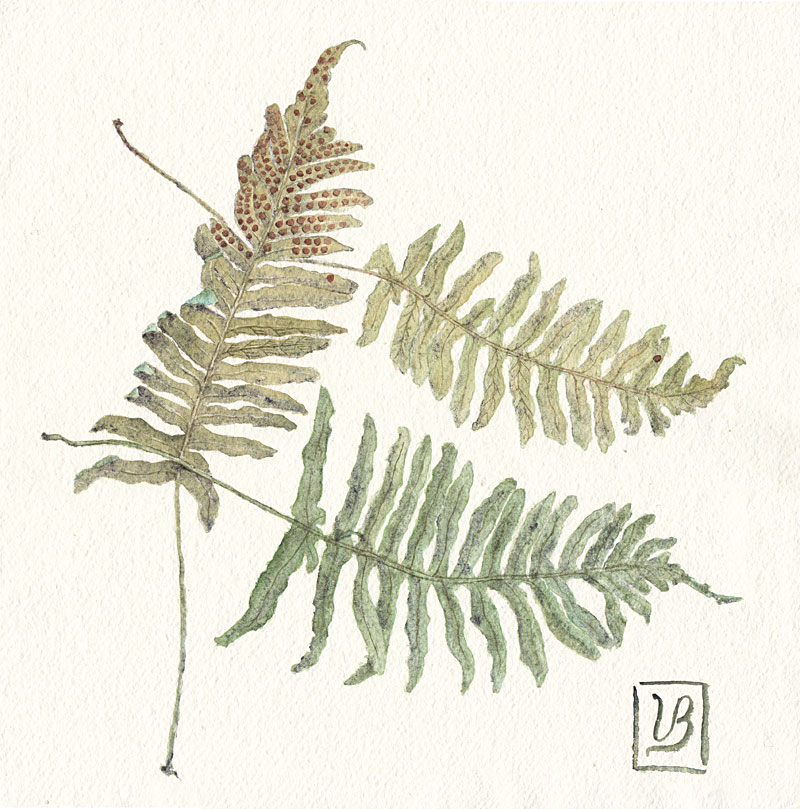 "Ferns. Polypodium vulgare. 30x30 cm (12x12"") on handmade khadi paper. 215€, also avilable as print."
