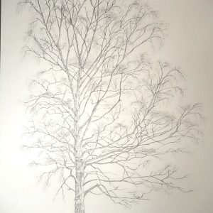 A birch portrait, work in progress, the finished graphite drawing, before starting to add paint.